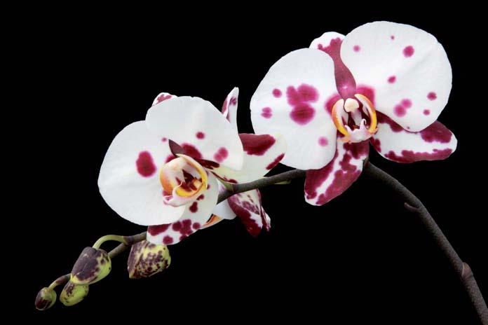 Orquídea Falenópsis