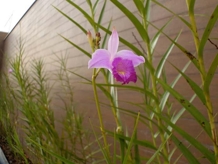 Orquídea-bambu