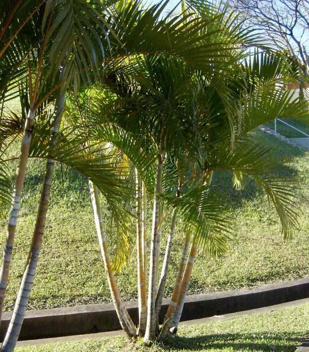 Palmeira-areca