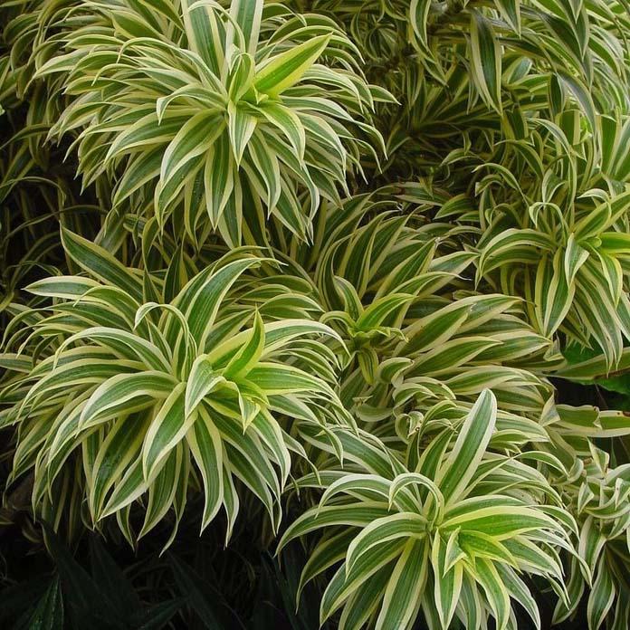 Pleomete variegata