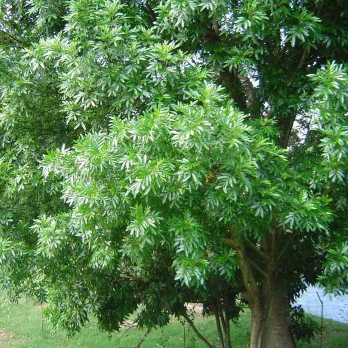 Árvore-samambaia