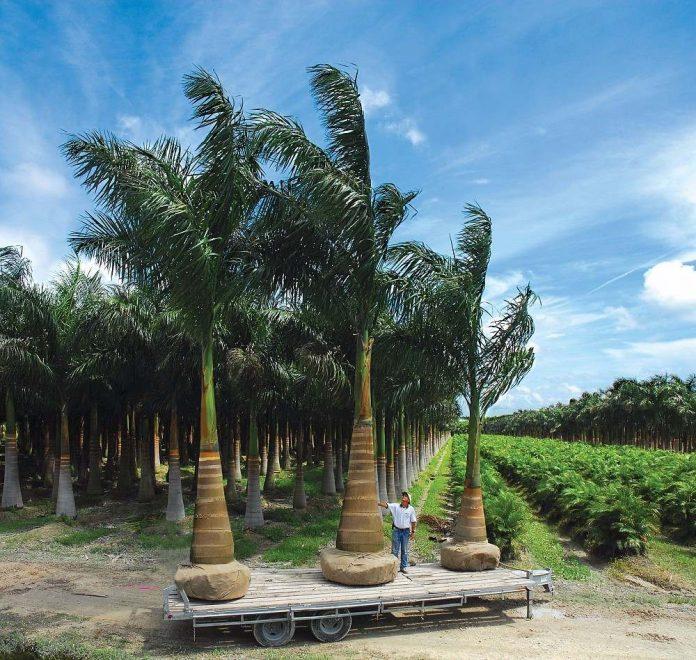 Palmeiras imperial prontas para ser plantadas