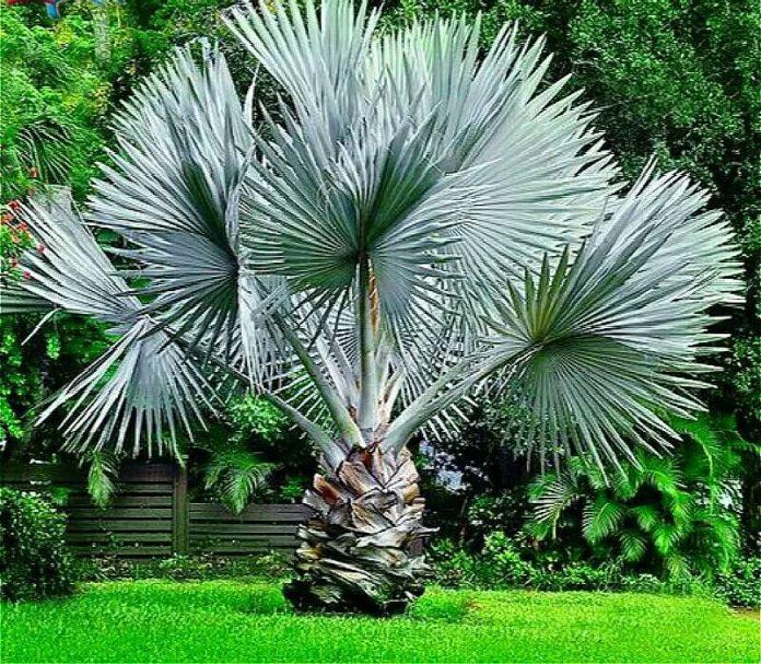 Palmeira azul com todo o seu tamanho é uma das palmeiras mais lindas do mercado!