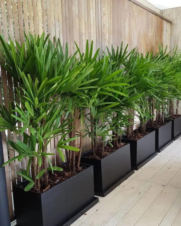 Palmeira Ráfia em vasos para o jardim