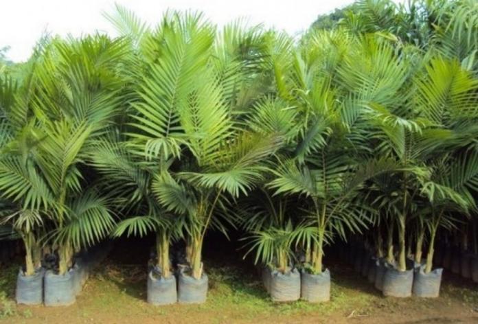Palmeira Real Pode alcançar até 20m ideais para locais externos. São resistentes a frio e geadas.
