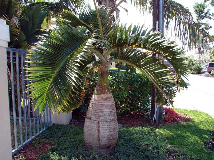 Palmeira Garrafa com pouco tempo plantada