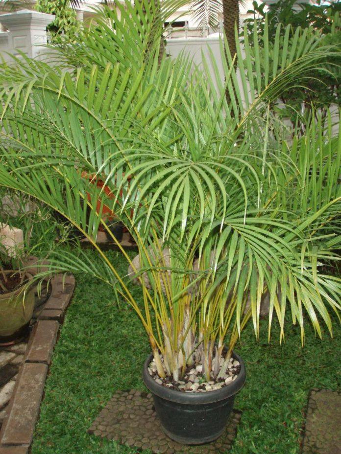 Palmeira Areca é uma palmeira pequena que serve para a decoração