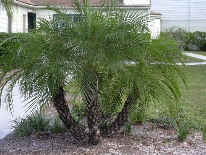Palmeira fênis em um jardim