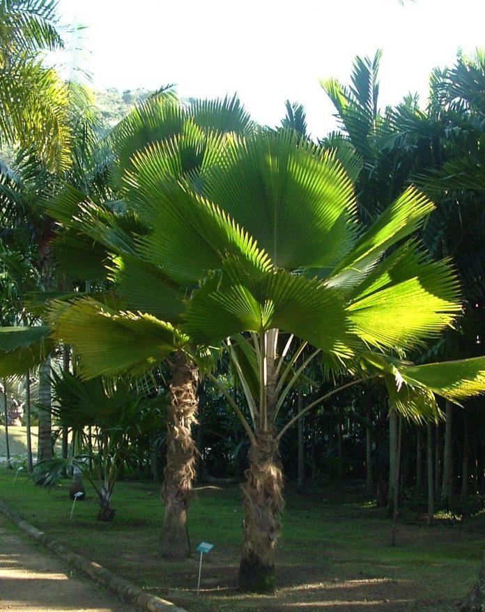 Palmeira Leque em um jardim
