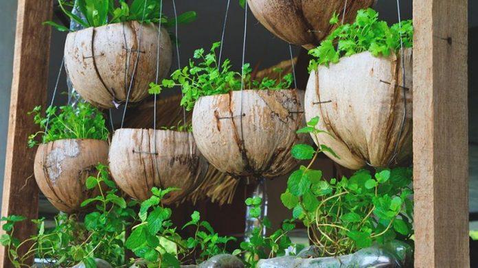 Hortas plantadas em casca de coco