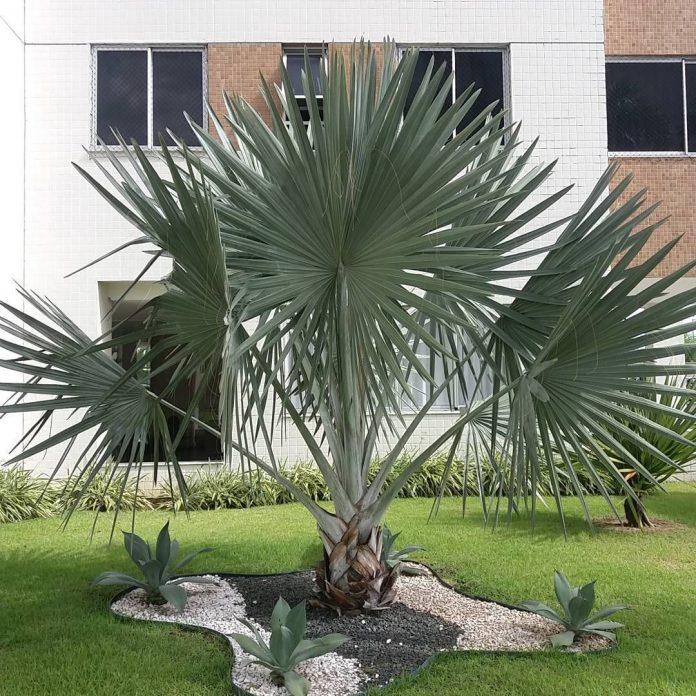 palmeira como atração principal onde foi feito ao seu redor um trabalho com pedras e pequenas folhagens a valorizando ainda mais