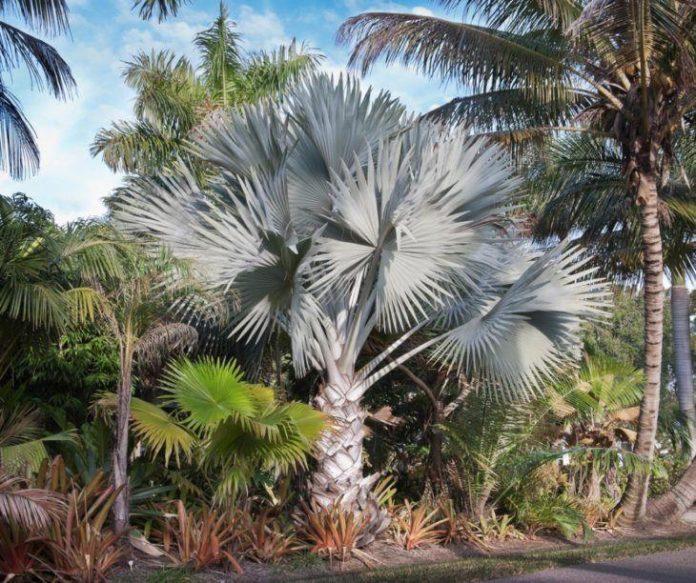 Nesta imagem podemos ver que a palmeira azul foi plantada do lado de outras plantas chamativas, é nítido que a visão fica um pouco carregada e ela já não fica tão valorizada quanto nas outras utilizações onde ela vem só