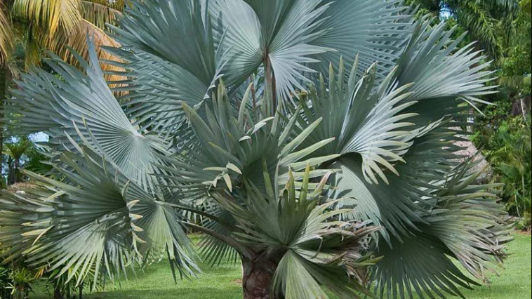 Palmeira Azul: Uma linda palmeira para a decoração do seu jardim