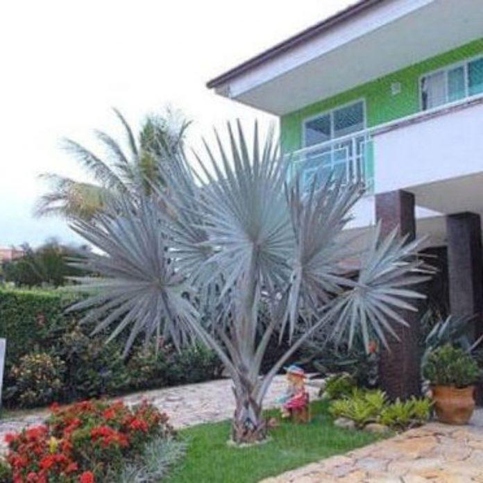 lindo jardim que tem a palmeira azul como principal e do lado flores pequenas e delicadas e até alguns enfeites que ajudou a trazer mais delicadeza e beleza ao ambiente