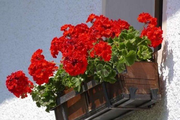 floreira com rosas vermelhas